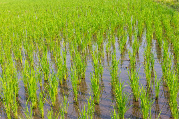 Early Procurement of Paddy in all remaining States from today